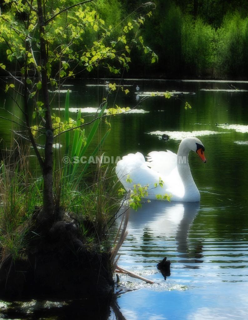 Svansjön Scandiaphoto