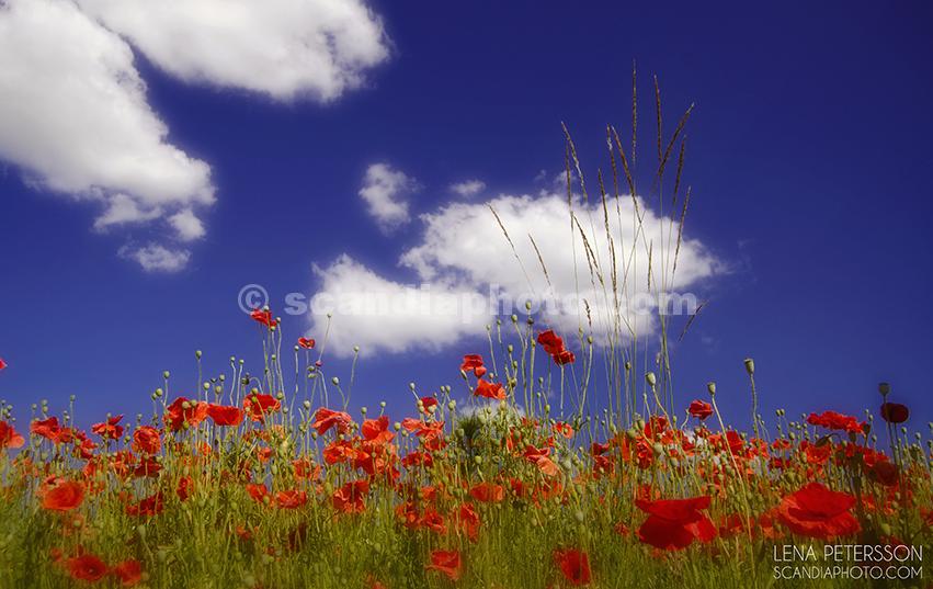 Röd vallmo och sommarhimmel