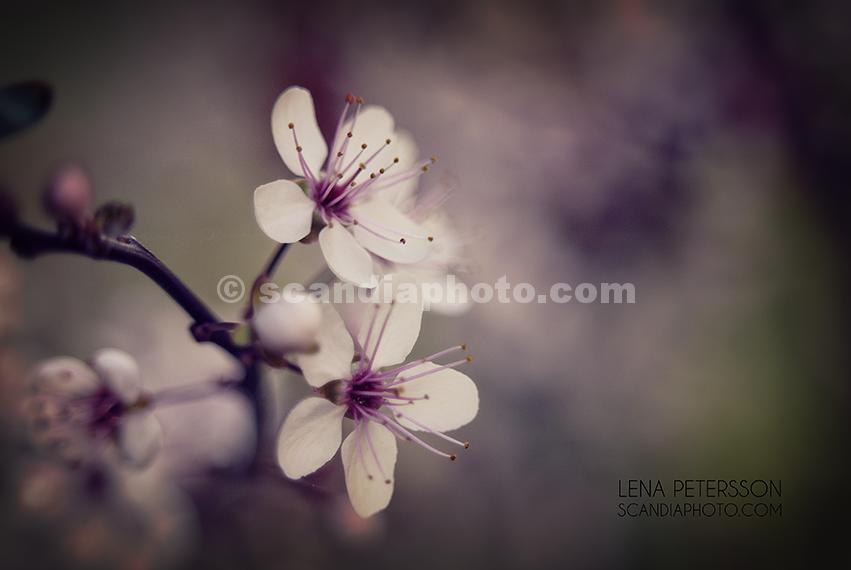 Körsbärsbärsblomster