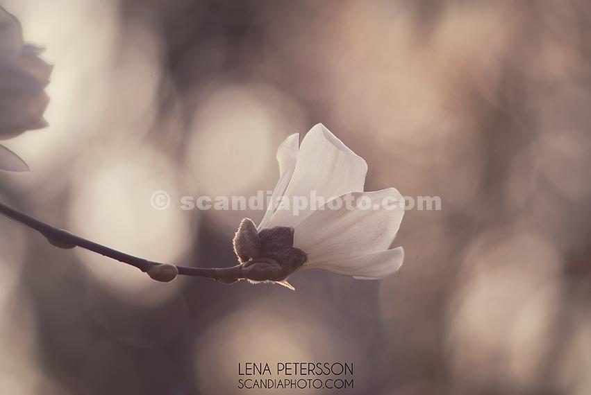 Magnolia i morgonsol