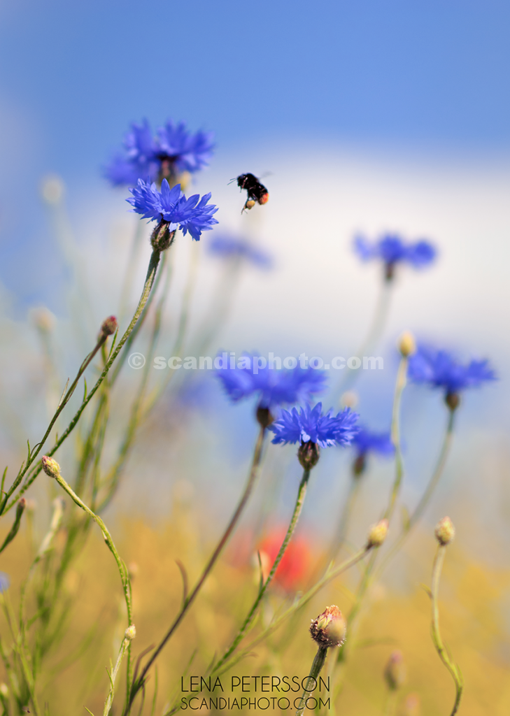 Bumblebee and blue sky