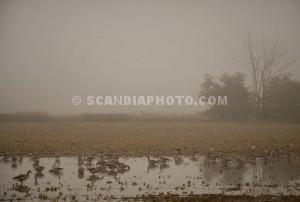 Flyttfåglar i dimman